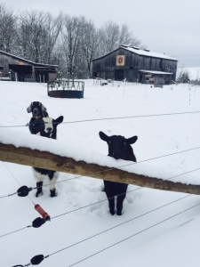The goats at Rural Resources enjoying the beautiful snowfall.