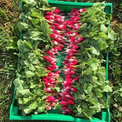 frenchbreakfast radish